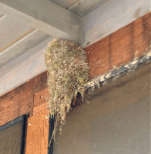 Barn Swallow Nest