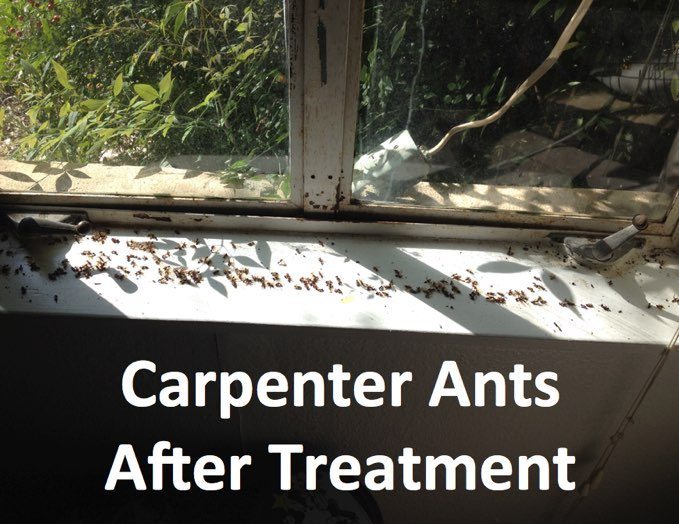 carpenter-ant-treatment