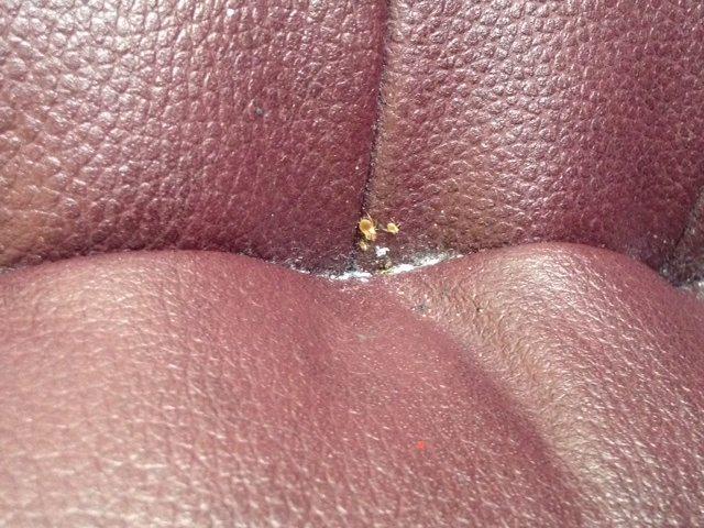 bed bug feces on a bed frame1 2